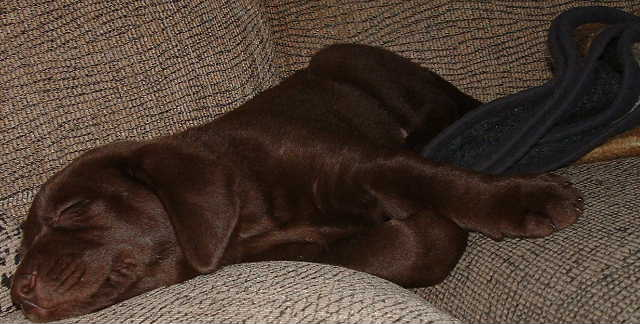 Hershey the Chocolate Lab (six weeks old here)