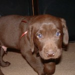 Hershey, the cute chocolate Lab puppy