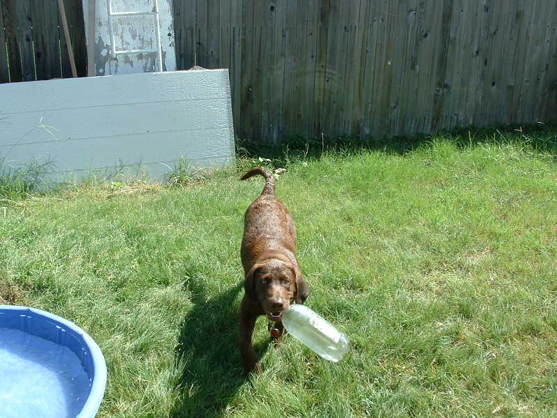 World's best (and cheapest) dog toy...an empty two-litre bottle (or put a couple pieces of dog food in it so it rattles. He will chase this thing around the yard for hours!