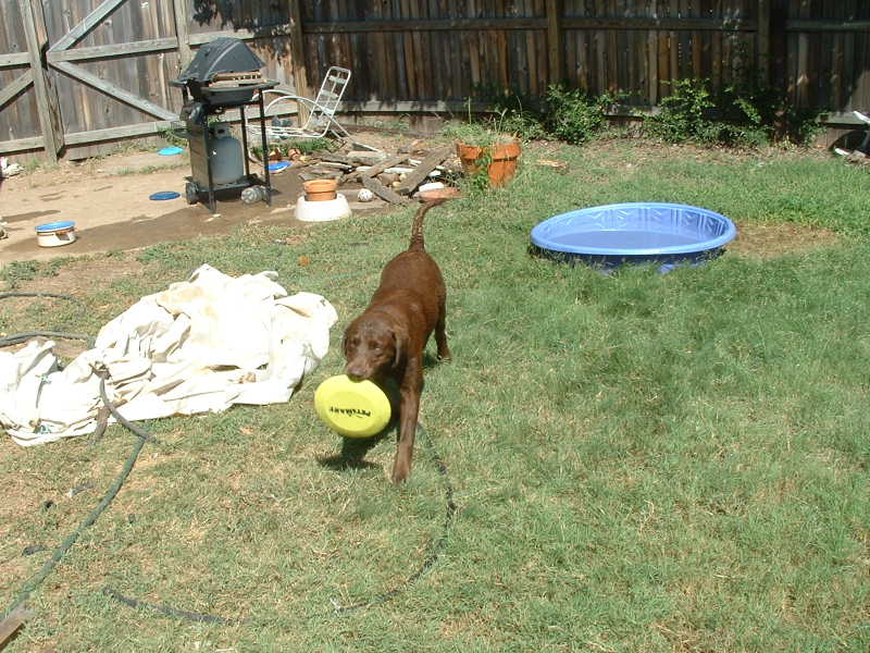 I'm done swimming, let's play frisbee! (note the pile of stuff he collects from everywhere and puts in one spot. My yard is sure easy to clean now!)